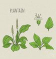 plantain medical botanical isolated vector image vector image