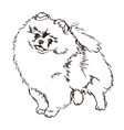 dog breed pomeranian vector image vector image
