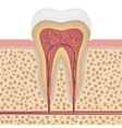 Healthy white tooth detailed anatomy vector image vector image