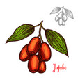 jujube sketch fruit berry icon vector image