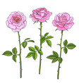 three pink roses with leaves and stems realistic vector image vector image