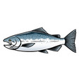 saltwater chinook salmon fish vector image vector image