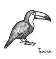 vintage drawing toucan or tucan sketch vector image