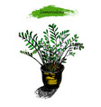 zamioculcas in the pot sketch of tropical plant vector image vector image