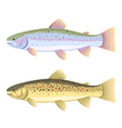 Rainbow trout and brown trout vector image