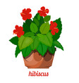 hibiscus plant in a flowerpot on a white vector image vector image