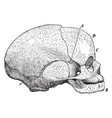 side view of fetal skull vintage vector image