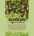 olives bunch poster for olive oil vector image vector image