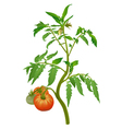 Tomato plant with flowers and fruits vector image vector image