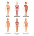 body anatomy men nerves and muscular systems vector image vector image