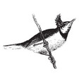 crested titmouse vintage vector image vector image