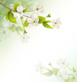 Cherry branch with white flowers on green vector image vector image