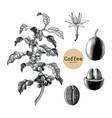 coffee branchcoffee flowercoffee bean hand vector image