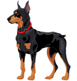 Doberman guard dog vector image