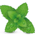 fresh mint leaves isolated on white background vector image vector image