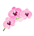 Branch orchids vector image
