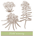 hand drawn of wild rosemary vector image