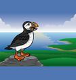 puffin bird vector image