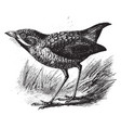 antpitta vintage vector image vector image