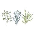 3 types eucalyptus vector image