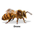 drone bee vector image vector image
