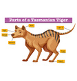 Diagram showing parts of tasmanian tiger vector image vector image