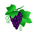 a vine with black grapes and leaves on white vector image