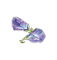 butterfly pea flower watercolor vector image vector image