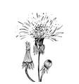 dandelion in blossom black ink sketch vector image vector image