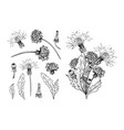 dandelion botanical black ink sketch set vector image vector image