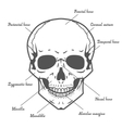 Skull anatomy at white background vector image