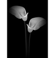 Calla flowers on black background vector image
