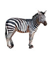 african zebra on white background vector image