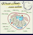 fascia of the human wrist vector image