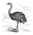 Common Rhea vintage engraving