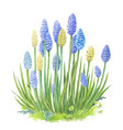 muscari with watercolor of blue vector image vector image
