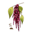branch amaranth flowers and seed color