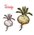 turnip vegetable tuber sketch vector image