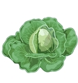 Big ripe cabbage with leaves vegetable vector image vector image
