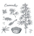 hand drawn cannabis hemp plant with seeds leaves vector image vector image
