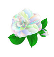 flower camellia japonica with leaves vector image