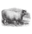 Leicester sheep vintage engraving vector image vector image