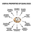 useful properties of quail eggs infographics vector image vector image