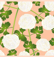 white ranunculus flower on salmon pink background vector image vector image
