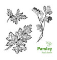 parsley plant and leaves hand drawn vector image