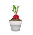 Radish Or Beet in Ceramic Flower Pots vector image