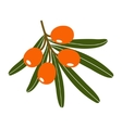 Branch of sea-buckthorn berries vector image