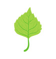 linden tree green leaf vector image