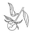 unblown peony bud vector image vector image