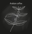coffee tree branch coffea arabica vector image vector image